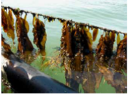 Harvesting Seaweed to extract protein